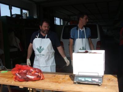 Agustín y Manolo, los encargados de manipular el pescado durante el pesaje.